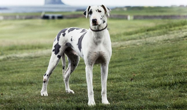 Everything You Want To Know About Great Danes Including Grooming