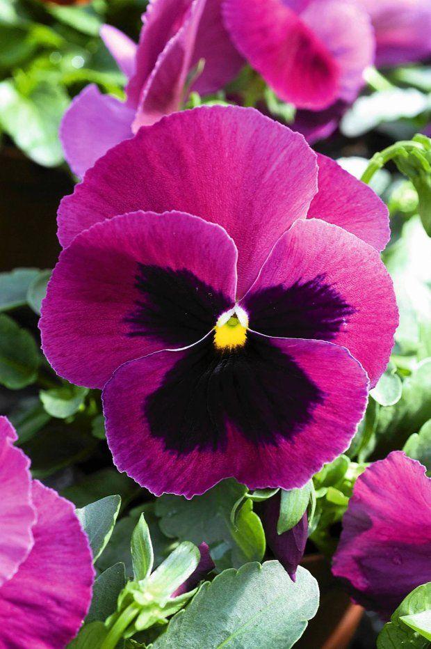 Pansy Matrix Rose Blotch Pansies Flowers Viola Flower Pansies
