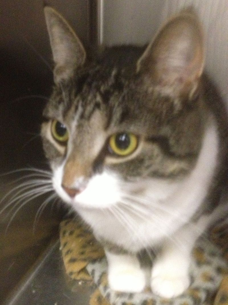Adopt Melissa5/27/14 on Petfinder Cat adoption, Tabby