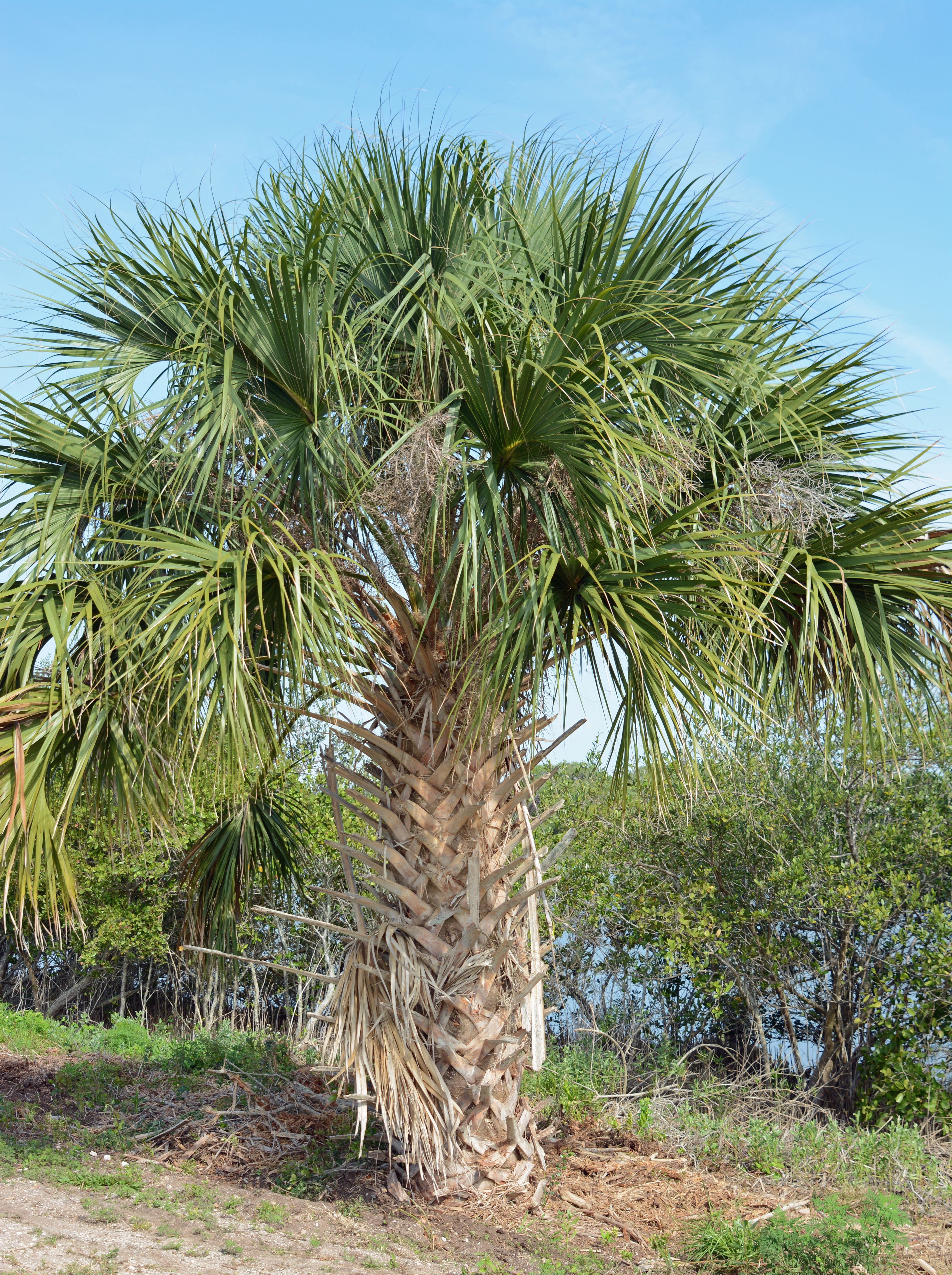 Sabal palm tree in the Canaveral National Seashore | Palm Trees ...