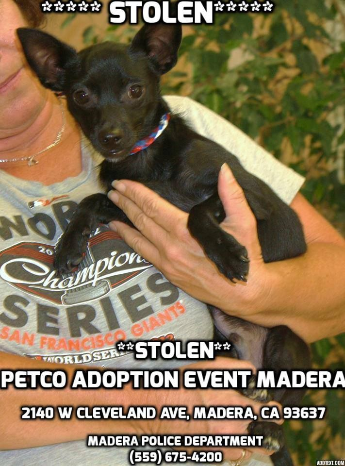 Stolen From Petco Adoption Event Madera Please Help Ebony 3 Month Old Male Chihuahua Mix 2140 W Cleveland Ave Mader Losing A Pet Find Pets Adoption