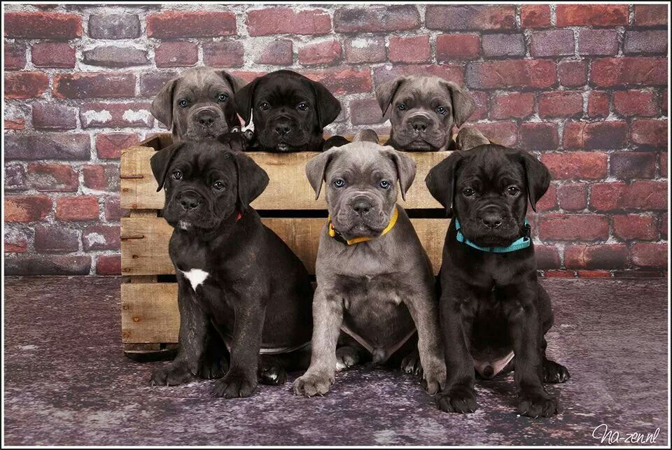 6 Male Cane Corso Pups 6 Weeks Old Photostudio Na Zen Holland