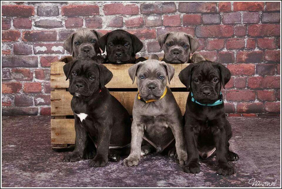 Pin By Lori Sass On Leuke Honden Foto S Cane Corso Cane Corso Dog Corso Dog