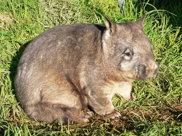 Northern Hairy-Nosed Wombat: In the Top 10 List of rarest animal of the world we keep this in the 6th place. This cute critter, considered one of the rarest large mammals in the world, is on the Critically Endangered list.  Over 39 inches long, the Northern Hairy-Nosed Wombat is a shade larger than normal wombats, and are able to breed faster, though that has not improved their Critically Endangered status