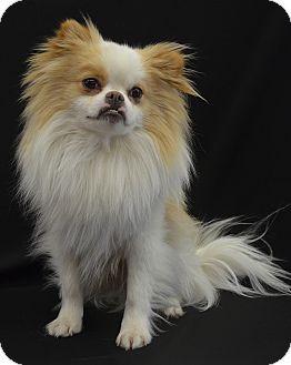 Pomeranian/Pekingese Mix Dog for adoption in St.Louis
