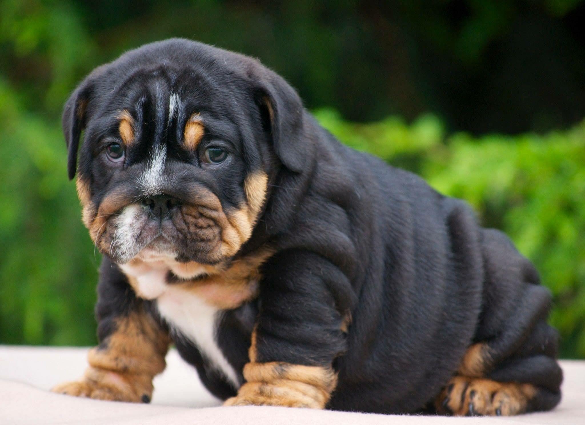 English Bulldog Puppy Bulldog Puppies French Bulldog Puppies