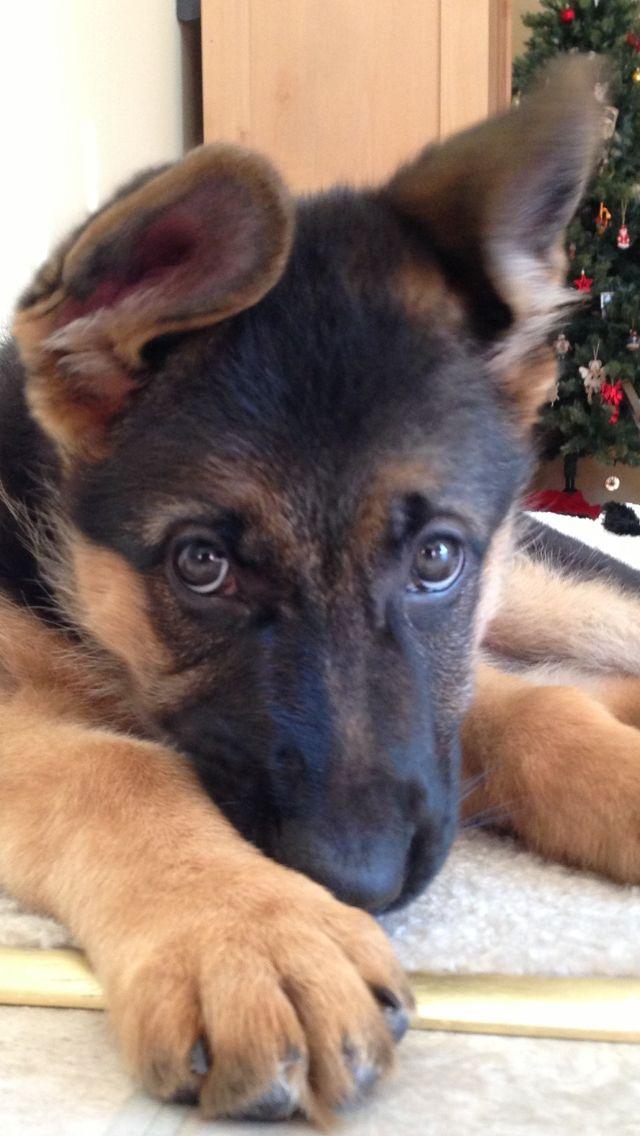 Pin By Helppuppy On Cute Puppies German Shepherd Dogs Cute Dogs
