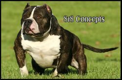 Gottyline S Romeo Dna P Black Brindle White Bully Breeds Bully Dog American Bully