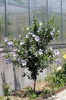 Azurri Satin Rose of Sharon Hibiscus