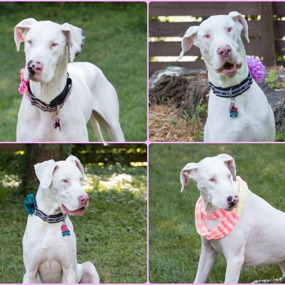 Meet Cleo Skye These Great Dane Girls Have Been Looking For