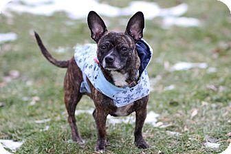 Midland Mi Chihuahua French Bulldog Mix Meet Lil Peach 75 A Dog For Adoption Http Www Adoptapet Com Pet 16055 Frenchie Pug Chihuahua Mix Chihuahua