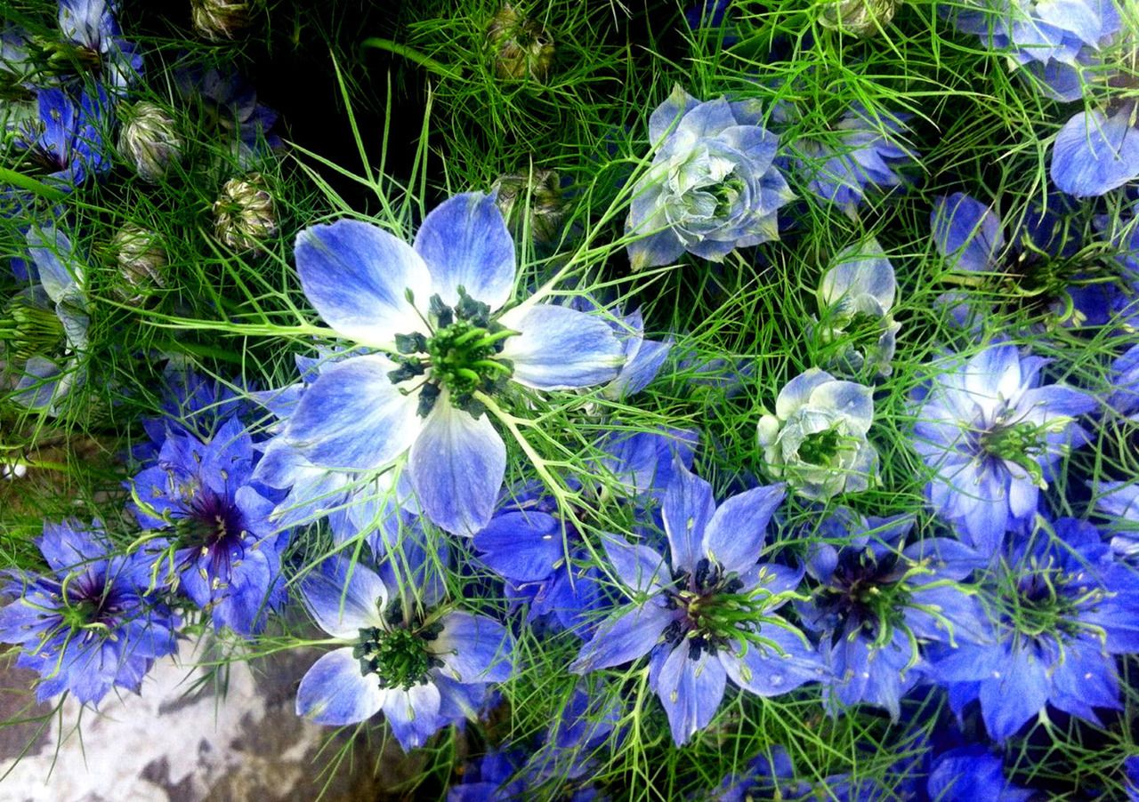 Love In A Mist Thomas Lucia Images Flores Flowers