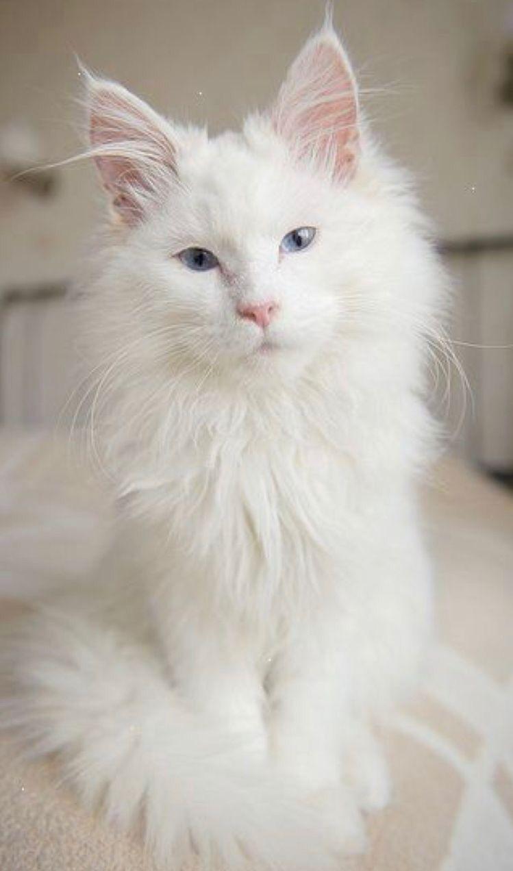 Pin On Gatos Blancos White Cat Gata Blanca