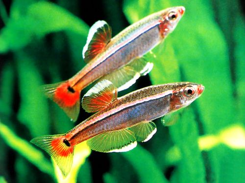 White Cloud Mountain Minnow Profile Aquarium Advice Aquarium Forum Community Fish White Cloud Minnow Cool Fish