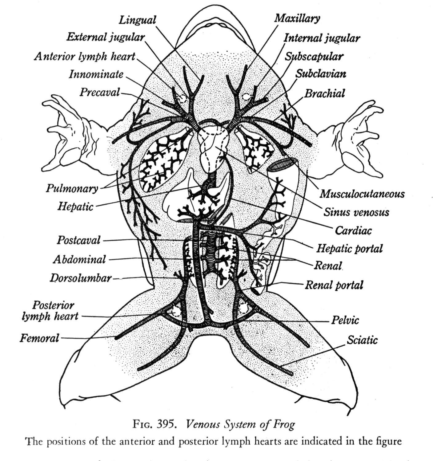 animal respiration simple diagram taser circuit bullfrog dissection zoology pinterest