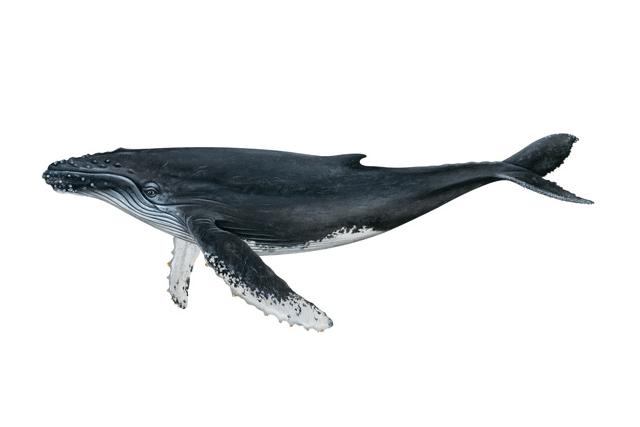 Humpback Whale Watercolor Painting Transparent Png Premium Image By Rawpixel Com Niwat Watercolor Whale Whale Painting Whale