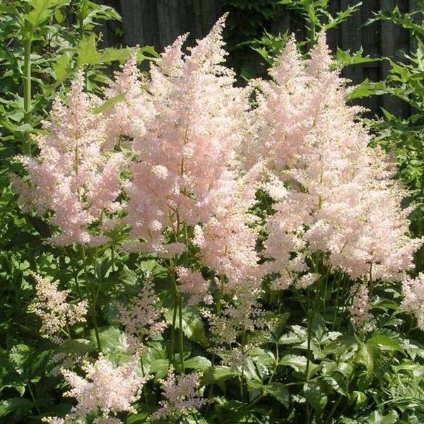 Erika Astilbe Flowers And Fillers Flowers By Category Sierra Flower Finder Plants Planting Bulbs Astilbe