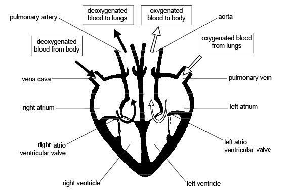diagram of the heart - google search | splendid science, Human Body