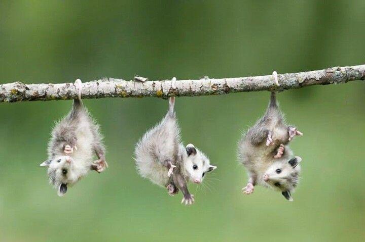Opossum babies. Toooo cute!!!