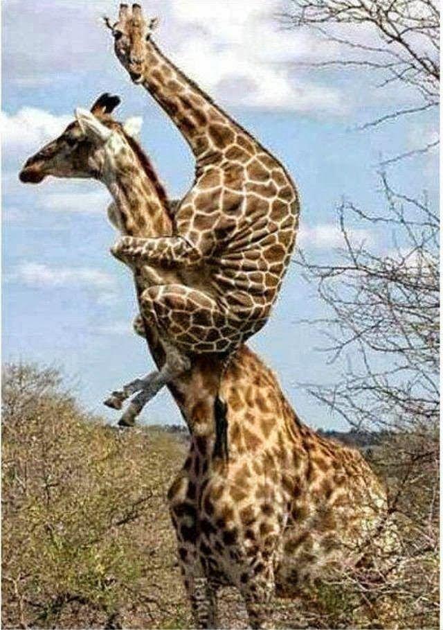 El Enigma De La Jirafa Imagenes Divertidas De Animales Animales Chistosos Animales