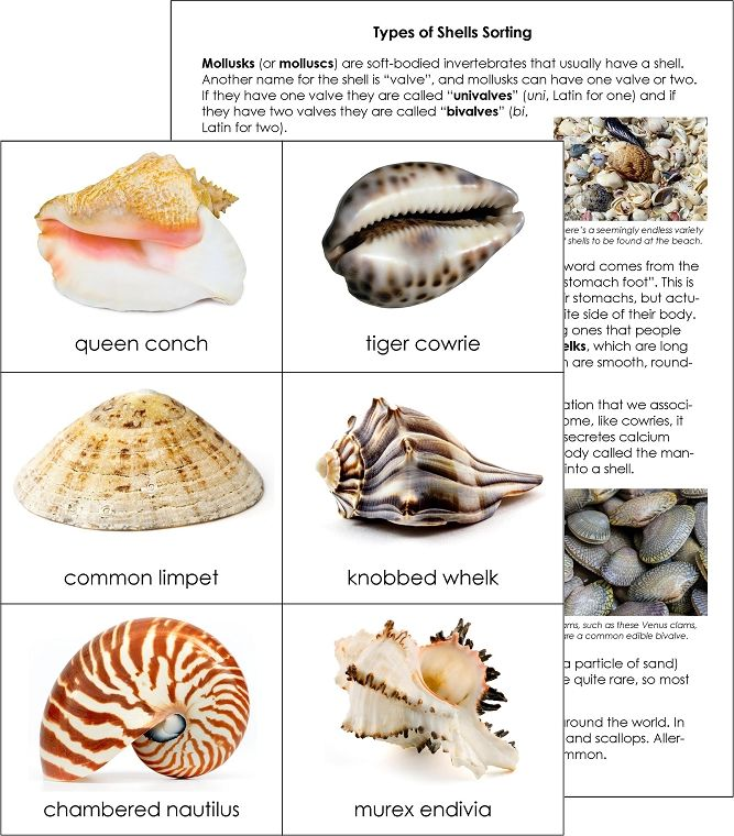 Types Of Shells Sorting Cards From Montessori For Everyone
