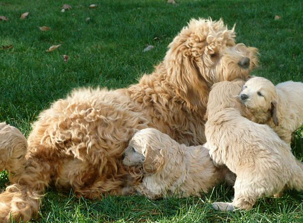 We Are Experienced Breeders Of English F1 F2b F1b Multigen Medium Size Goldendoodles We Are A Small Kennel Located Goldendoodle New England States Breeders