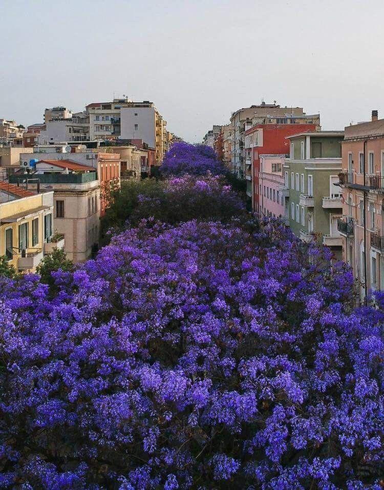 Fiori Jacaranda.Allberi Di Jacaranda Cagliari Via Dante Foto Citta Fiori