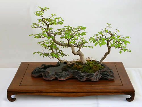Carpinus turczaninowii koreanische hainbuche als bonsai for Bonsai hydrokultur