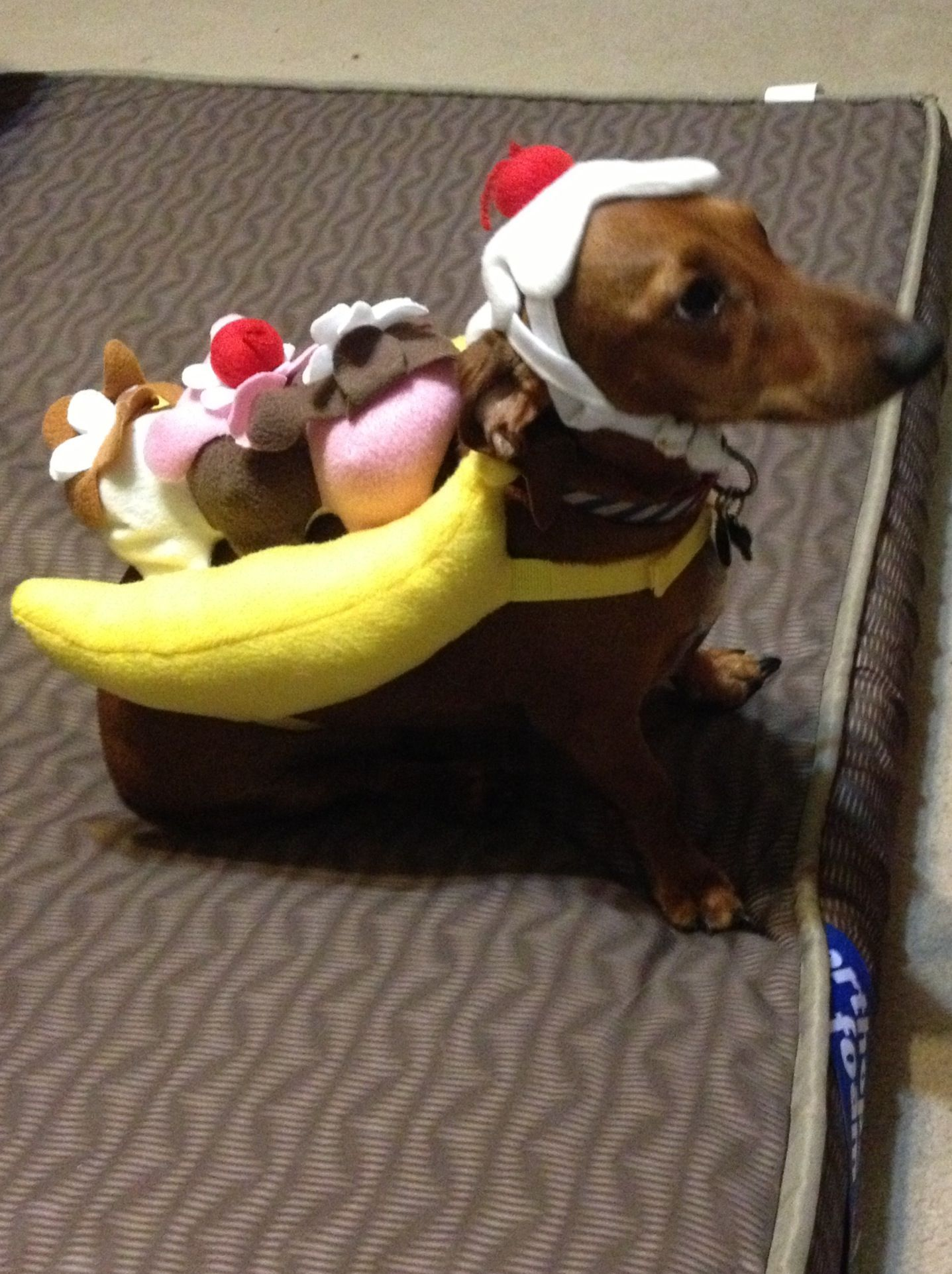 Daschund Disguised As Banana Split Dachshund Funny Video