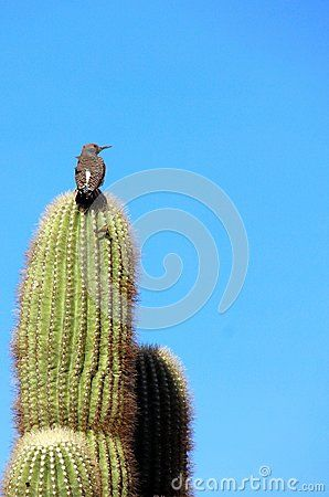 Northern Flicker perched on a Saguaro cactus at Roadrunner campground, Quartzsite, Arizona, USA.  Multicoloured mountains in the distance, blue sky, assorted greenery. Boondocking and mineral and gem destination for many snowbirds and winter sun followers. Blue, pink and purple tones in the background.