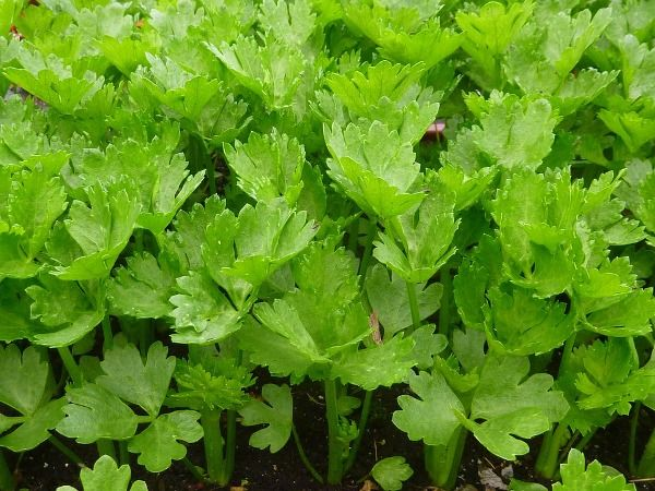 Celery is one of the popular growing salad leafy crops in the