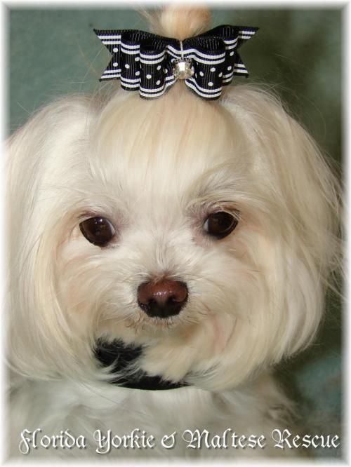 Adopt Petal On Maltese Dogs Maltese Dog Search