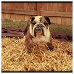 Adopt Buxley On Small Dogs Boxer Rescue Dogs
