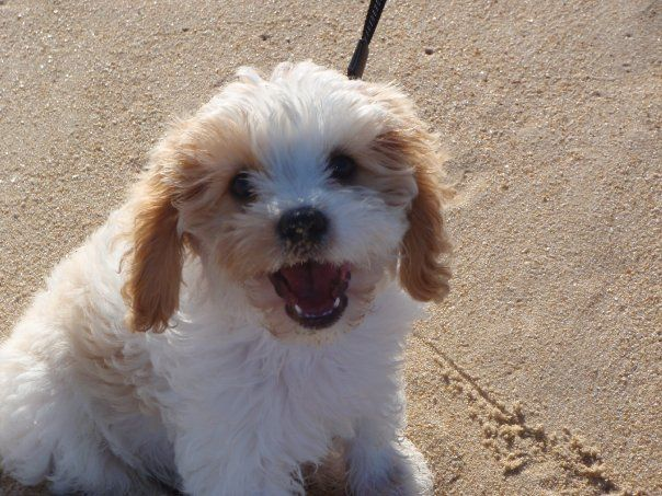 Willow Cavoodle Pets, Creatures, Animals