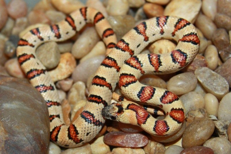 Pin by Honey Bee on RED | Snake, Coral snake, Pics |Milk Snake Humor