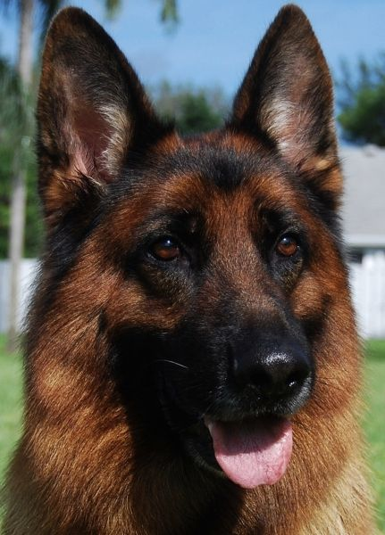 Pin By Christine Mazzariello On Gsd German Shepherd Dogs French