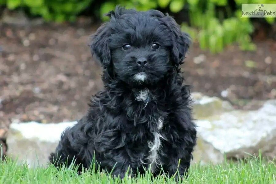 Shih Poo Shih Poo Shih Poo Puppies Puppies