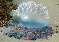 Portuguese Man-O-War jellyfish, found on shore of Mustang Island, Texas Gulf of Mexico. USA