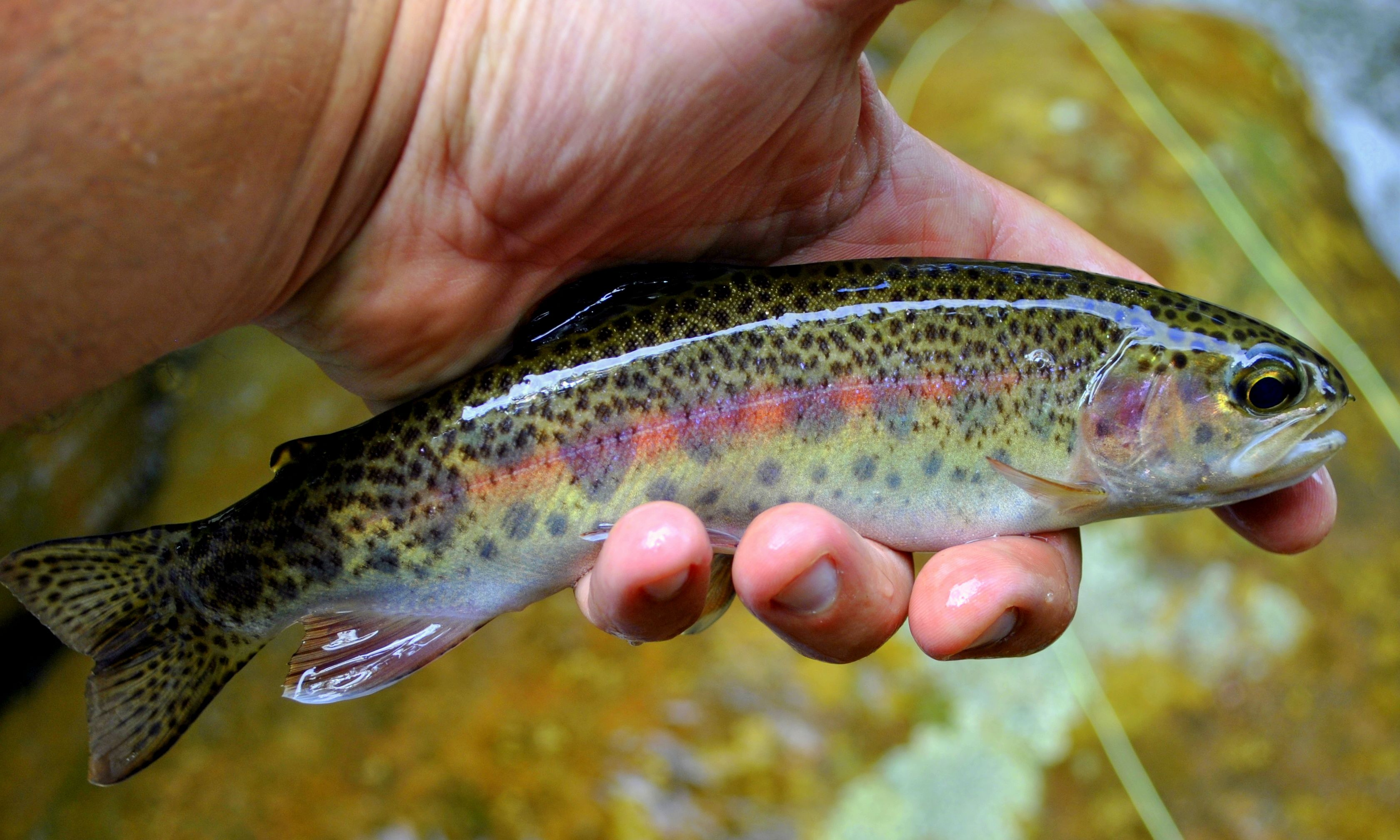 Rainbow trout lochs and rivers fishing tips for How to fish for rainbow trout