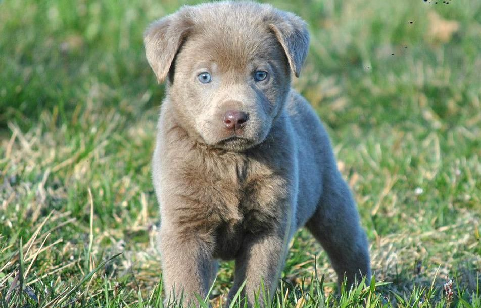 Silver Mist Labradors Silver Lab Puppy For Sale Silver Labs Ohio