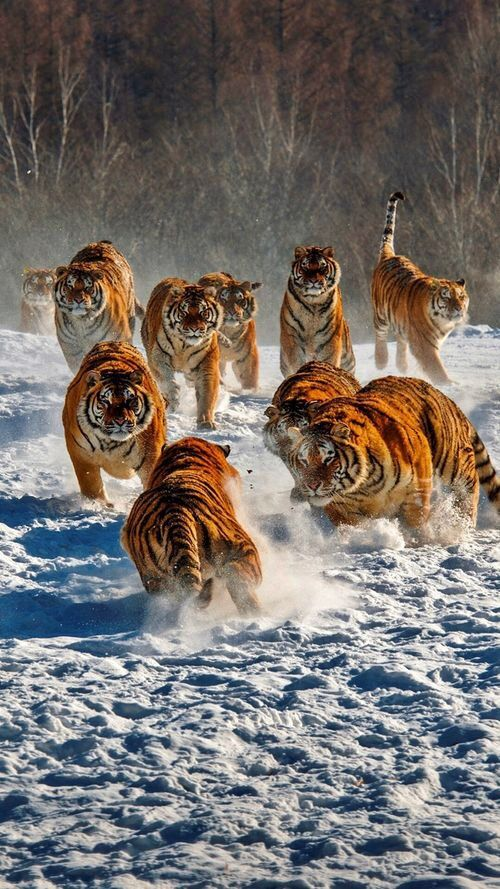 52af199666ea Pack of tigers running in the snow