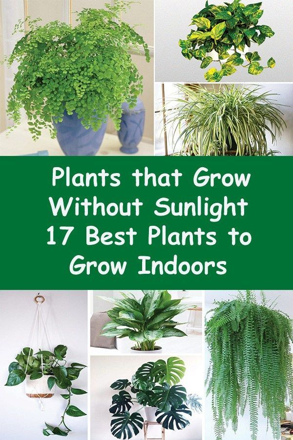 Plants that Grow without Sunlight   17 Best Plants to Grow Indoors  Pinterest Projects