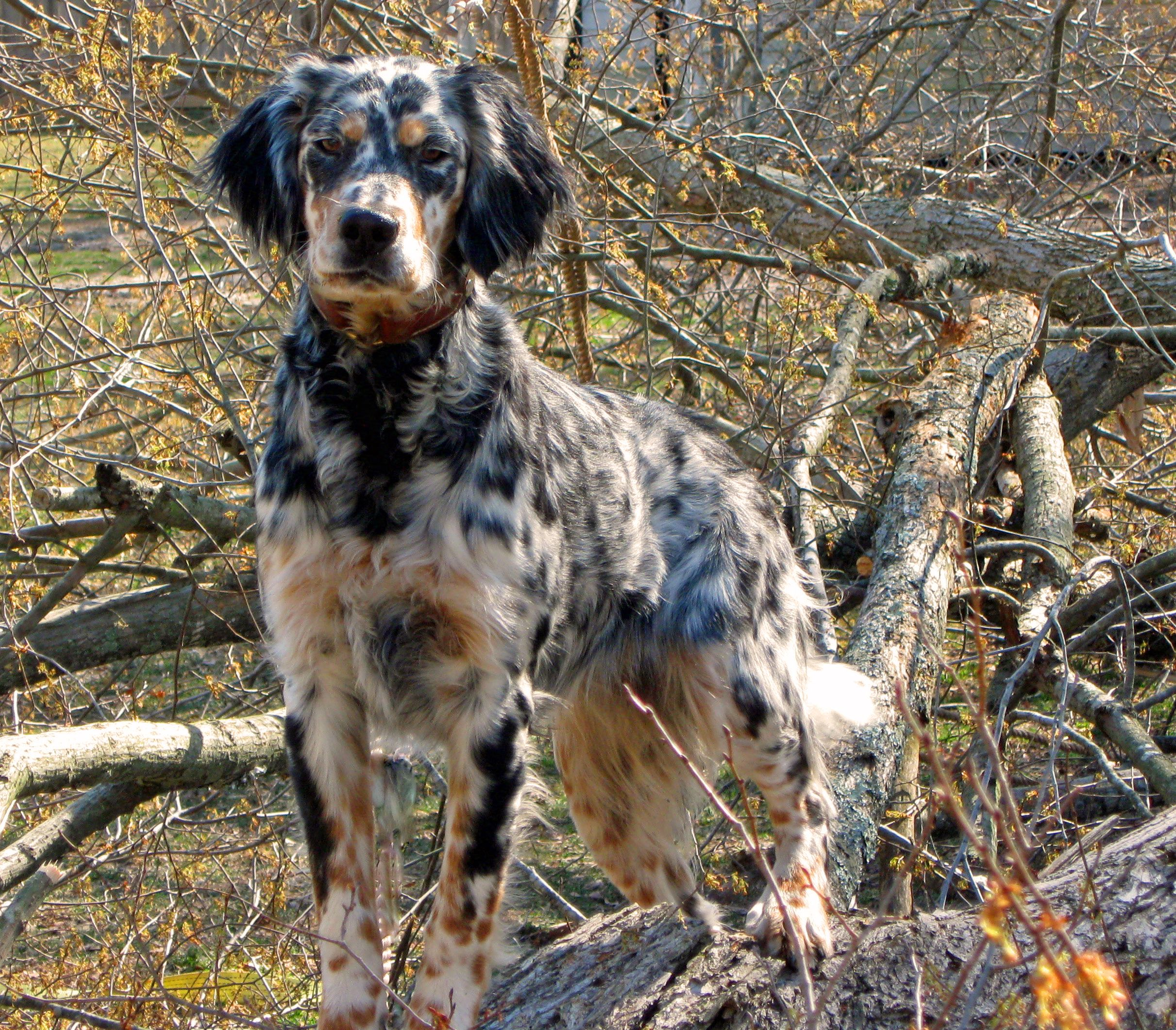 Llewellin Setter Sooo Pretty Where The Wild Things Are