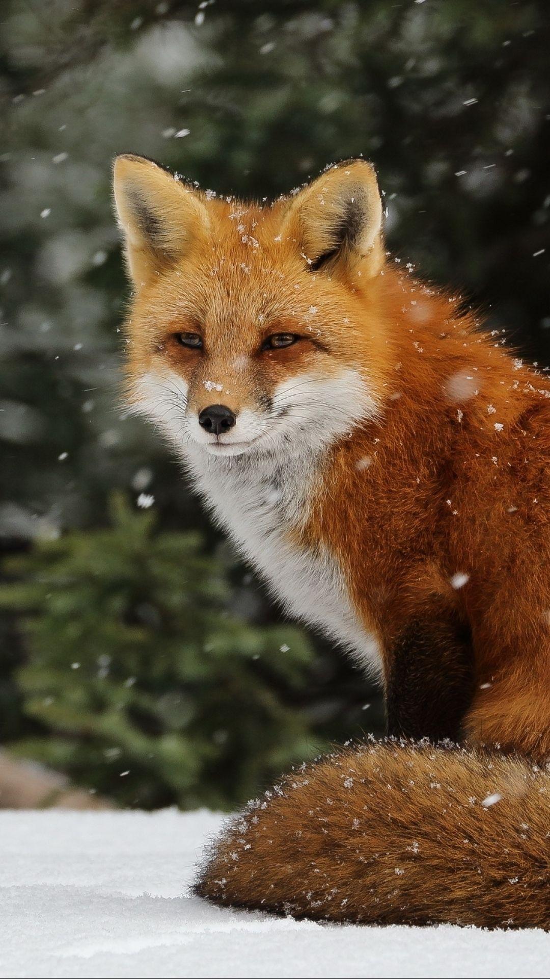Updatedecember Keywordfox Definition Categories Wallpaper Wallpaper Iphonefor Wallpaper Wallpaper Wallpaper Wa Cute Animals Pet Fox Animal Wallpaper