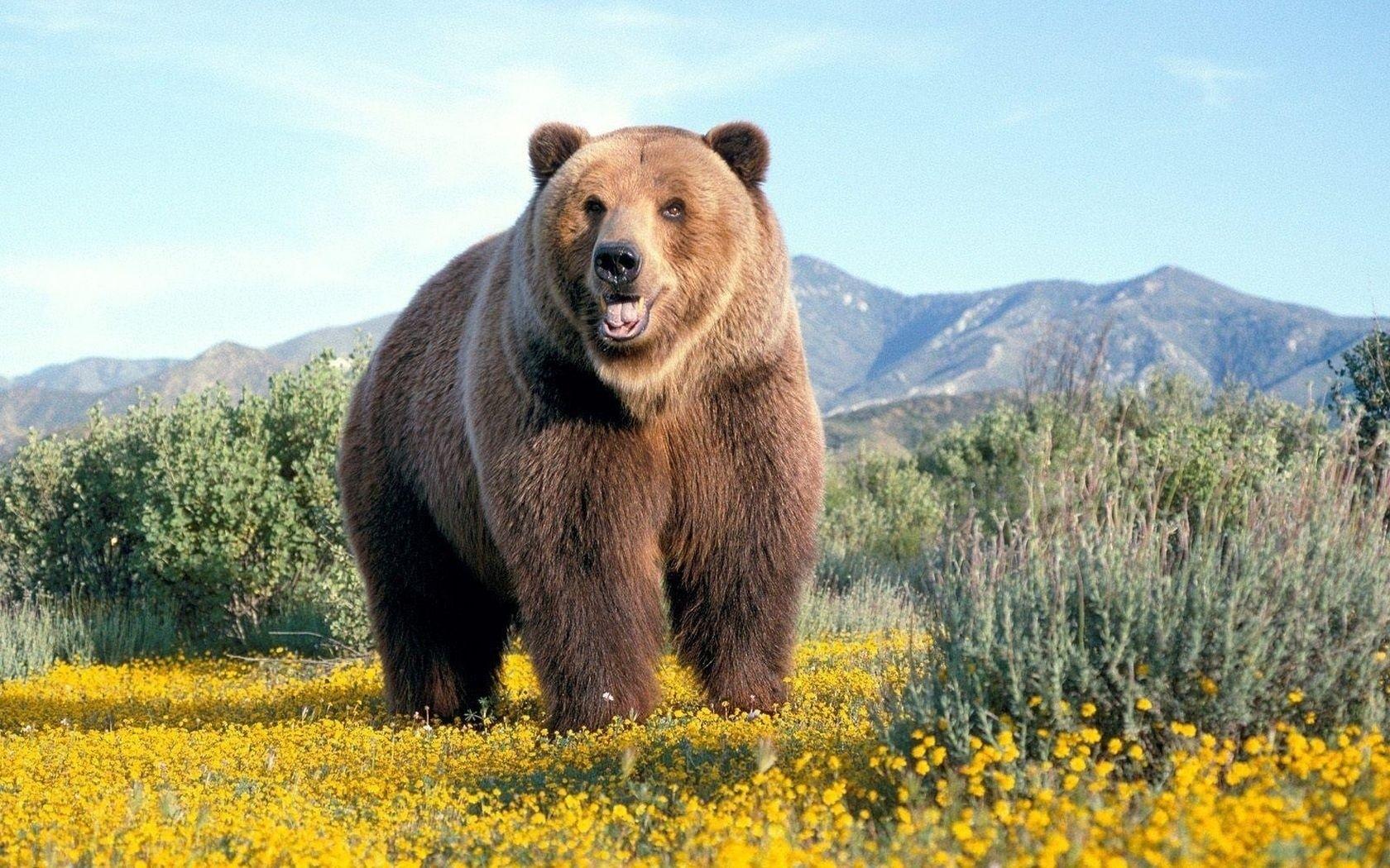 nature-animals-wildlife-bears-fresh-new-hd-wallpaper (1680×1050