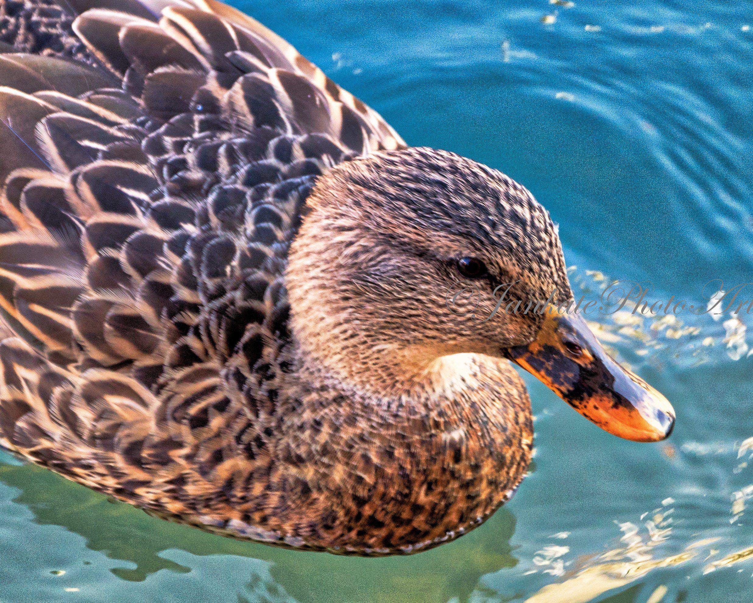 Female Mallard Duck Bird Photography Wildlife Nature Art Metal