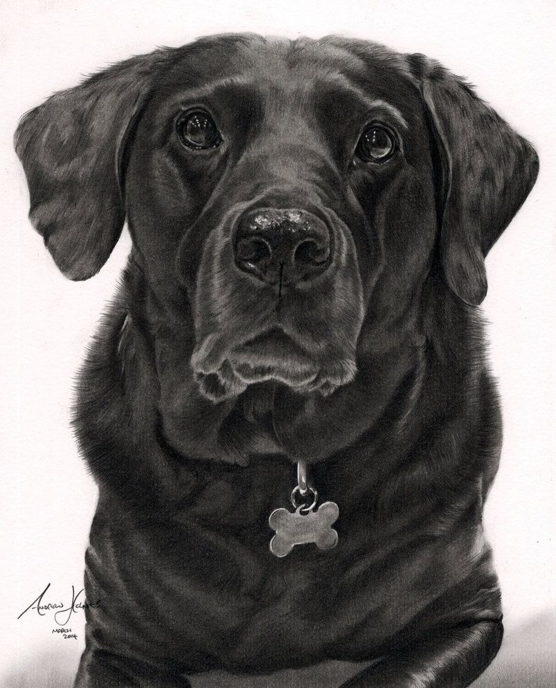 Commission Black Labrador By Captured In Pencil On Deviantart