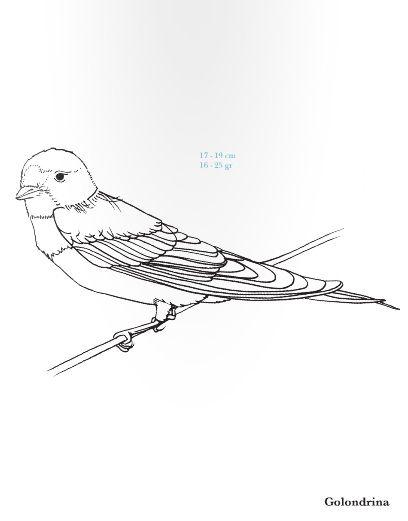 Golondrina. Hirundo rustica. Rara Avis. Pequeña guía de aves para ...