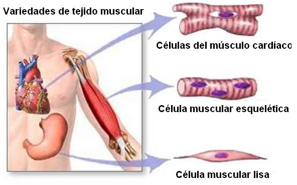 Resultado de imagen de tejido muscular | ESTUDIANDO DIETETICA Y ...