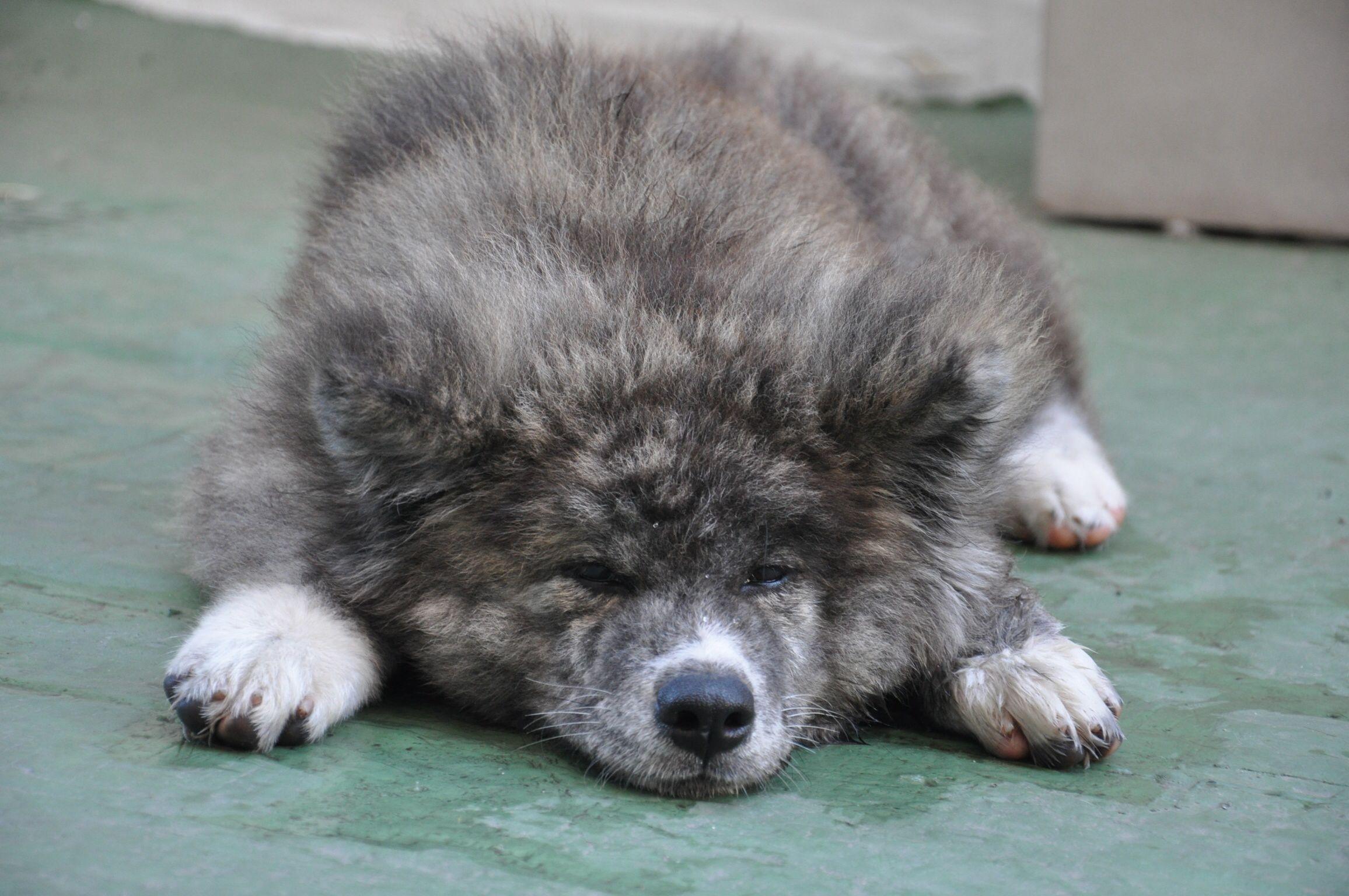 Haru Long Coat Akita Inu Japanese Dog Breeds Japanese Dogs